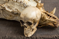 Skull and molar Royalty Free Stock Image