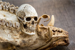Skull and molar Royalty Free Stock Photography