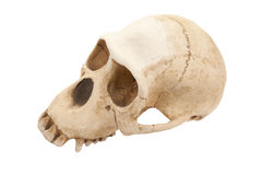 Skull Monkey Stock Photos