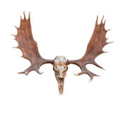 Skull Moose Stock Images