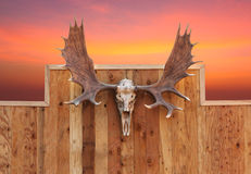 Skull Moose Hung On Wall Stock Images