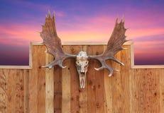 Skull Moose Hung On Wall Stock Photos