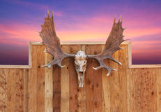 Skull Moose hung on wall Stock Photos