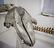 Skull in museum Royalty Free Stock Image