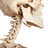 The skull and neck Royalty Free Stock Images
