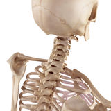 The skull and neck Stock Photography