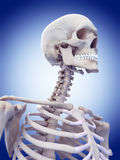 The skull and neck Royalty Free Stock Image