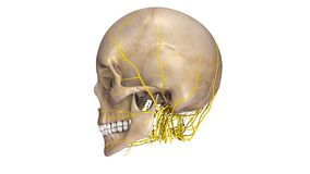 Skull with Nerves lateral view Royalty Free Stock Photos