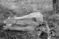 Free Skull Of Wild Boar On Dry Grass Background Stock Photography - 109769852