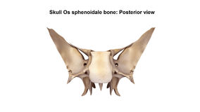 Skull Os sphenoidale bone. It is situated in the middle of the skull towards the front, in front of the temporal bone and the basilar part of the occipital bone Stock Photos