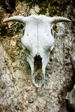 Skull of ox as a trophy decoration stock image