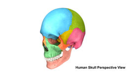 Free Skull Perspective View Royalty Free Stock Image - 82868616