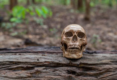 The skull is placed on the timber Stock Photo
