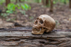 The skull is placed on the timber Royalty Free Stock Photography