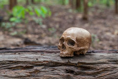 The skull is placed on the timber Royalty Free Stock Photos