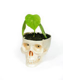 Skull and plant. Plastic human skull from which the plant grows, symbolizing life and death Royalty Free Stock Images