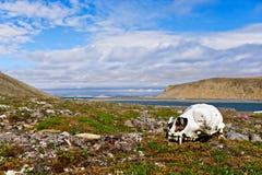 Skull of a polar bear on Novaya Zemlya (New Land). Royalty Free Stock Photography