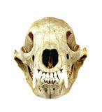 Skull. Royalty Free Stock Photography