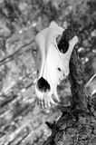 Skull of a predator. Skull of a carnivorous predator. Monochrome Stock Photography