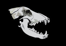Skull of a predator Stock Photo
