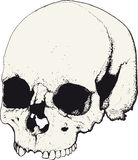 Skull in profile Stock Photos