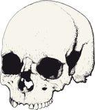 Skull in profile Stock Photos