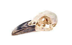 Skull of raven Royalty Free Stock Photo