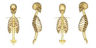 Skull with ribcage Royalty Free Stock Photos