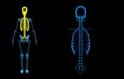 Skull, ribs cage with vertebral column Stock Image