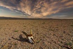 Skull of roe deer on stony ground in the desert Stock Photo