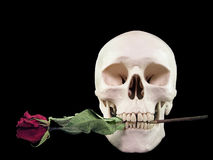 Skull with Rose. A human skull with a dried rose between its teeth, against a black background Royalty Free Stock Photography