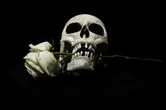 Skull with rose between teeth. Human skull with white rose between teeth, black background stock images