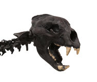 Skull of a saber tooth tiger isolated. Stock Image