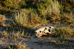 Skull In Sage Brush Royalty Free Stock Image