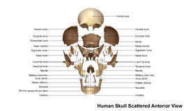 Free Skull Scattered Anterior View Stock Image - 76446111