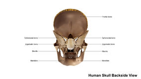 Skull Scattered Back view Royalty Free Stock Images