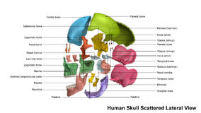 Skull Scattered Lateral view Royalty Free Stock Photo