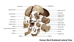 Skull Scattered Lateral view Royalty Free Stock Images