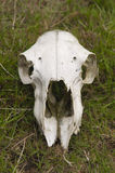Skull of a sheep. Bleached skull of a sheep lying in the grass Stock Photography