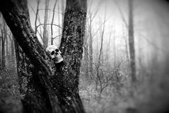 Skull sitting in a tree trunk. Scary skull stuck in the crook of a tree trunk Stock Image