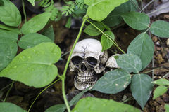 The skull or skeleton human photography Royalty Free Stock Photography