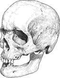 Skull sketch Stock Photos