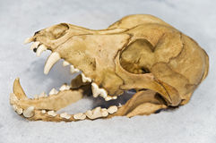 Skull of Small Animal Stock Image