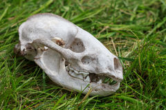 Skull from a small dead animal Royalty Free Stock Photography