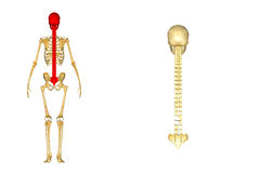 Skull with spinal cord Stock Image