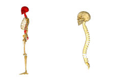 Skull with spinal cord. The human skull is a bony structure, the head in the skeleton, which supports the structures of the face and forms a cavity for the brain Royalty Free Stock Photography