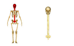 Skull with spinal cord Royalty Free Stock Photo