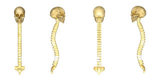Skull with spinal cord Stock Images