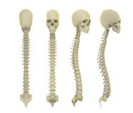 Skull and Spine Anatomy Stock Photos