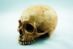 Skull. Still Life with a Skull concept royalty free stock image